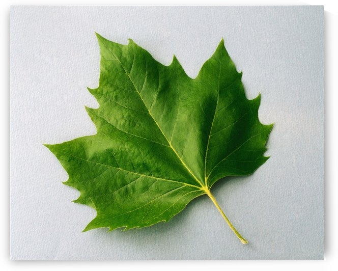 Maple Leaf by PacificStock