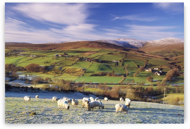 Sperrin Mountains, County Tyrone, Ireland, Sheep by PacificStock