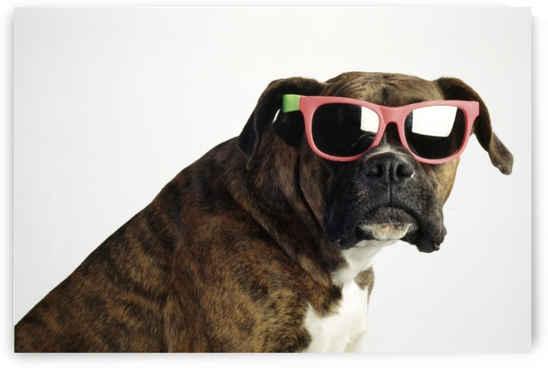 Boxer Wearing Sunglasses by PacificStock