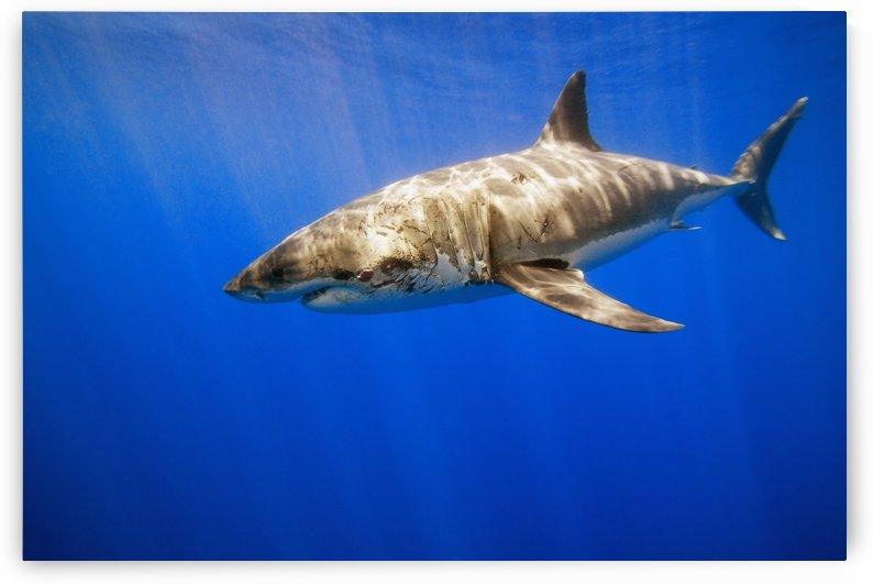 Great White Shark by PacificStock