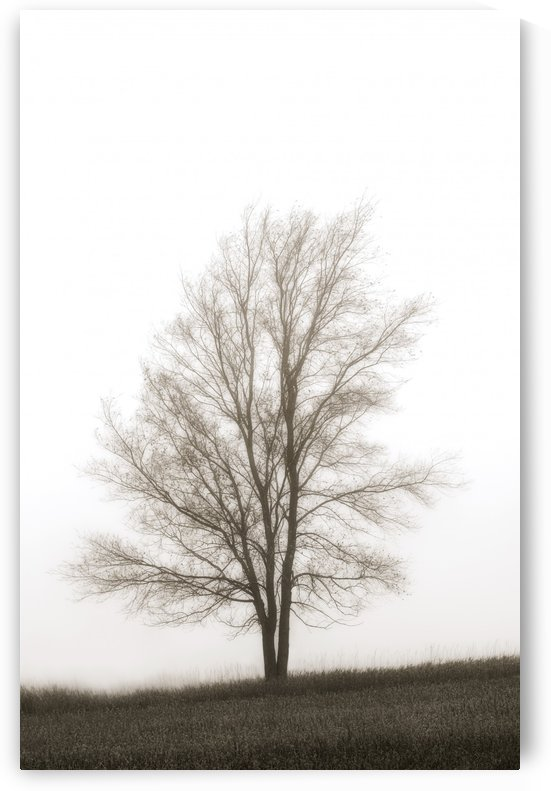 Lone Tree In The Mist by PacificStock