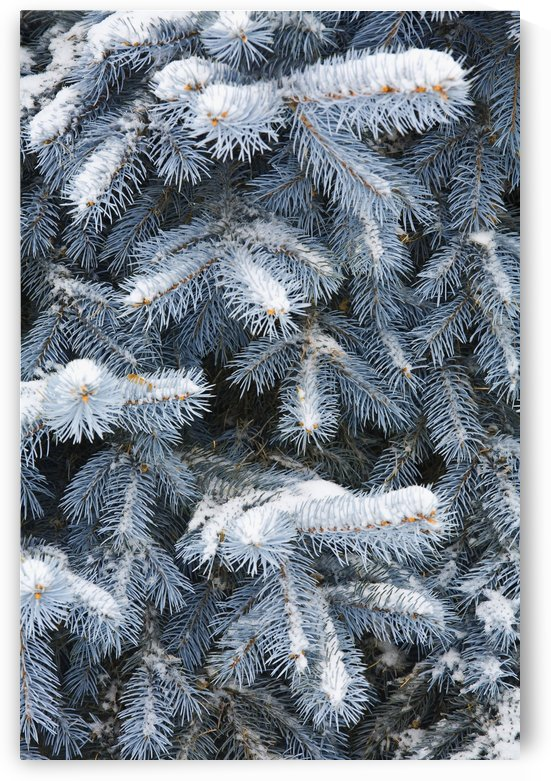 Blue Spruce Branches Covered In Snow by PacificStock