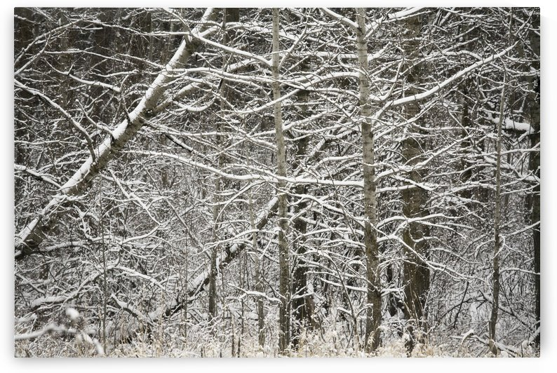 Snow Covered Branches by PacificStock