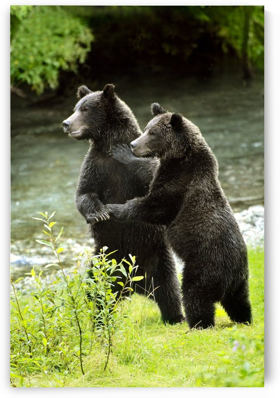 Two Grizzly Bears by PacificStock