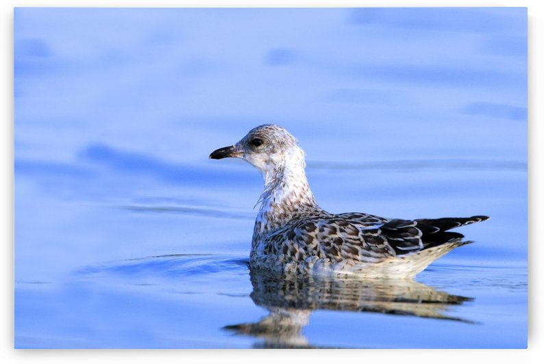 Young Gull Swimming by PacificStock