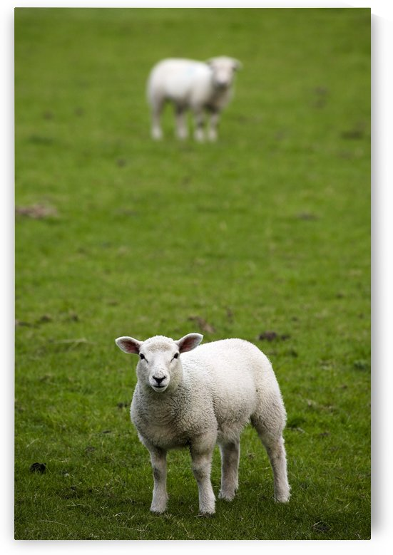 Lambs In A Field by PacificStock