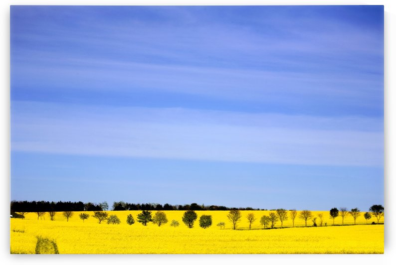 Trees In A Field Of Rapeseed, Yorkshire, England by PacificStock