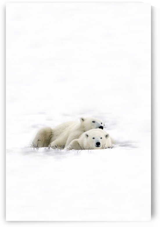 Two Polar Bears Laying Together by PacificStock
