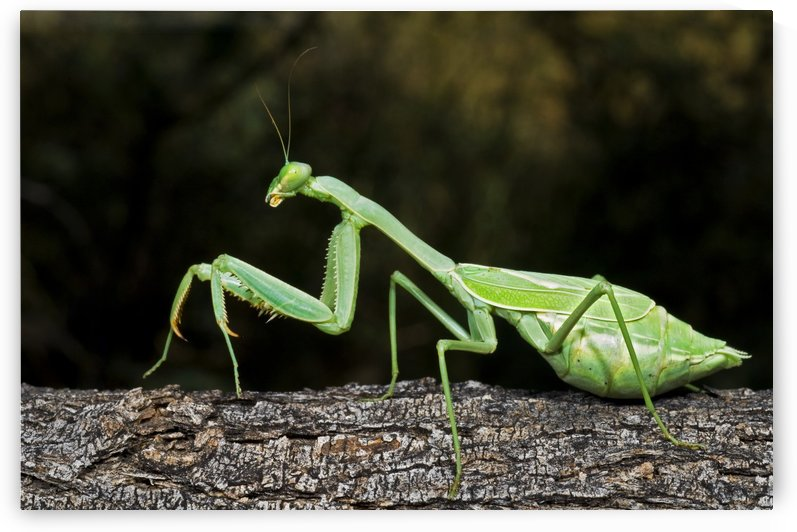 Praying Mantis Perched On A Tree by PacificStock