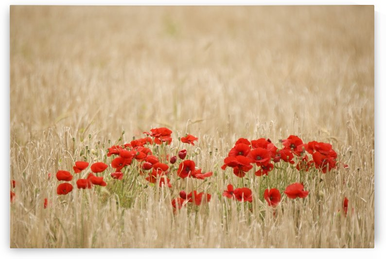 Poppies Growing Wild by PacificStock