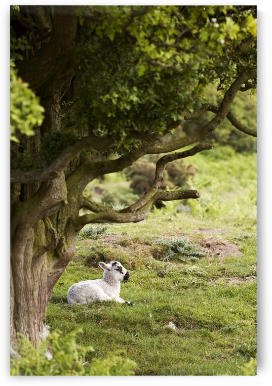 Sheep Lying Under Tree by PacificStock
