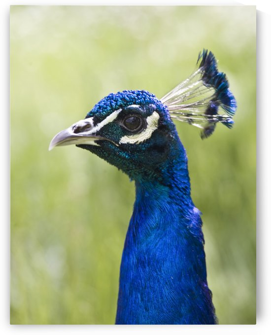 Peacock Head by PacificStock