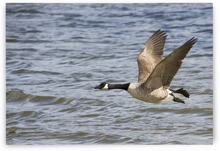 Goose Flying Over Water by PacificStock
