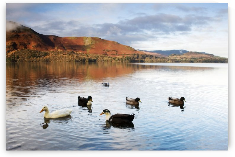 Ducks In Lake, Cumbria, England by PacificStock
