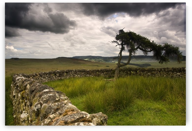 Stone Fence And Tree With Storm Clouds, Yorkshire, England by PacificStock