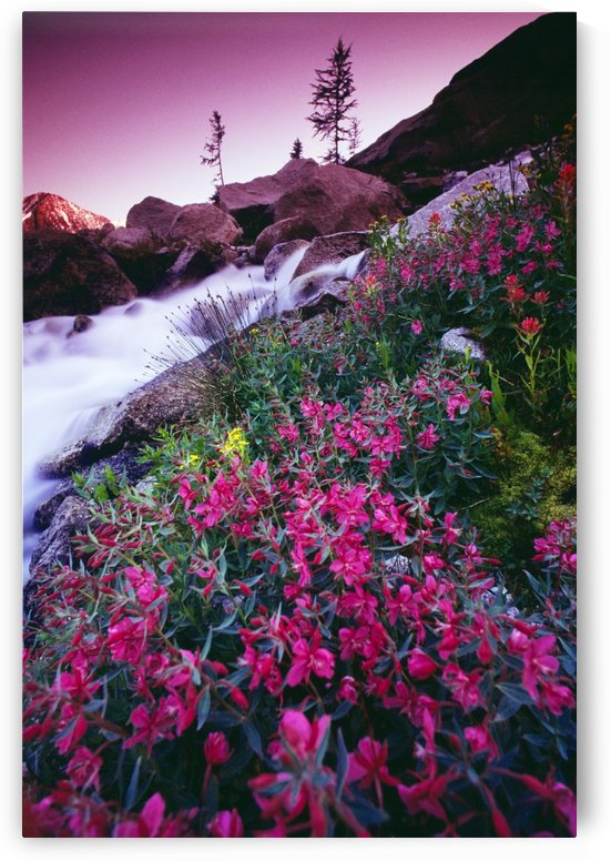 Wildflowers, Bugaboo Provincial Park, British Columbia, Canada by PacificStock