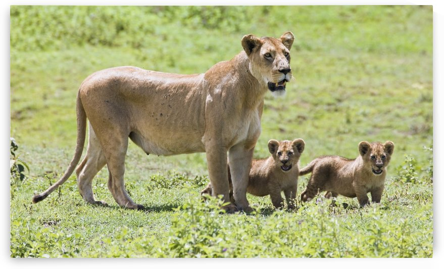 Lioness With Cubs by PacificStock