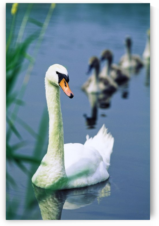 Ireland, Swan And Cygnets by PacificStock