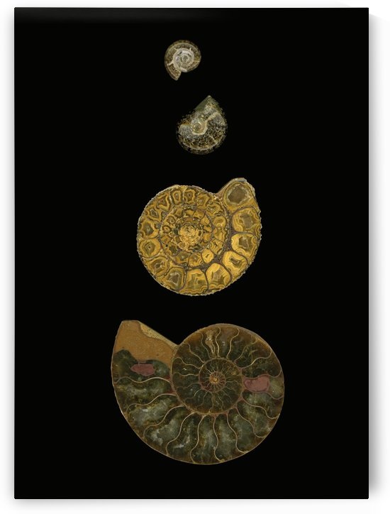 Fossilized Sea Shells (Nautilus) by PacificStock