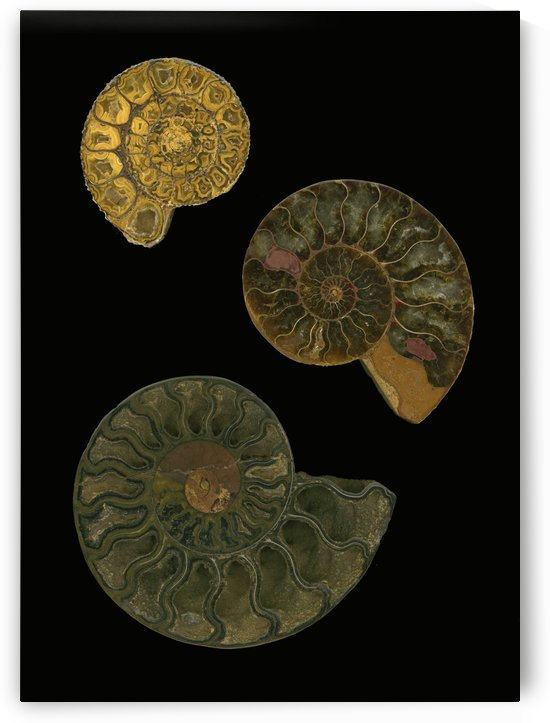 Fossilized Sea And Marine Shells Or Nautilus by PacificStock
