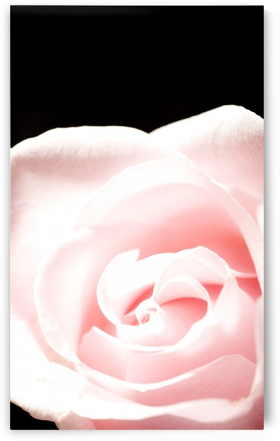 Pink Rose, Close-Up by PacificStock