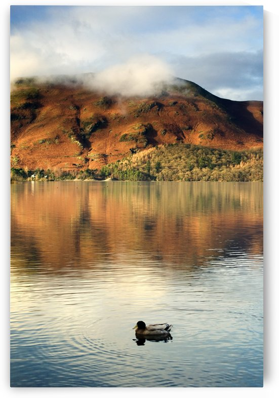 Duck On Lake, Lake District, Cumbria, England, United Kingdom by PacificStock