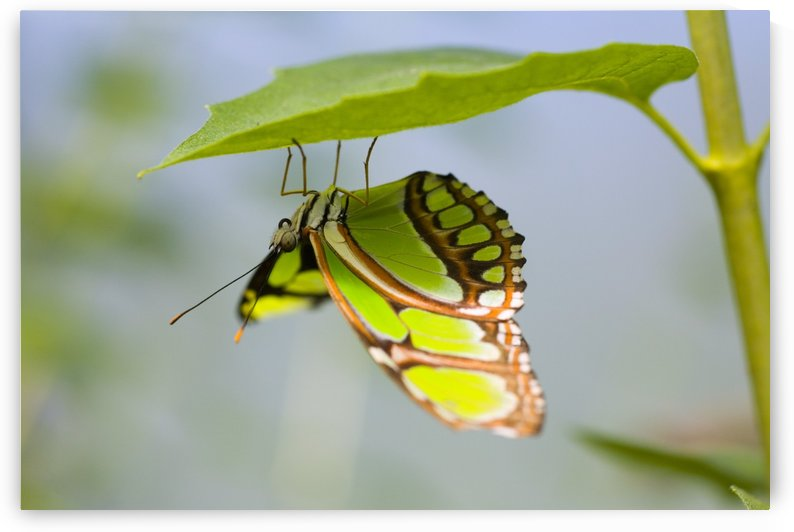 Malachite Butterfly On Leaf by PacificStock