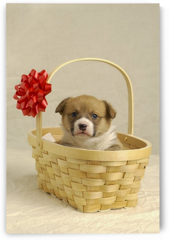 Puppy In A Basket by PacificStock