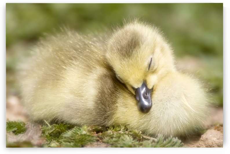 Duckling by PacificStock