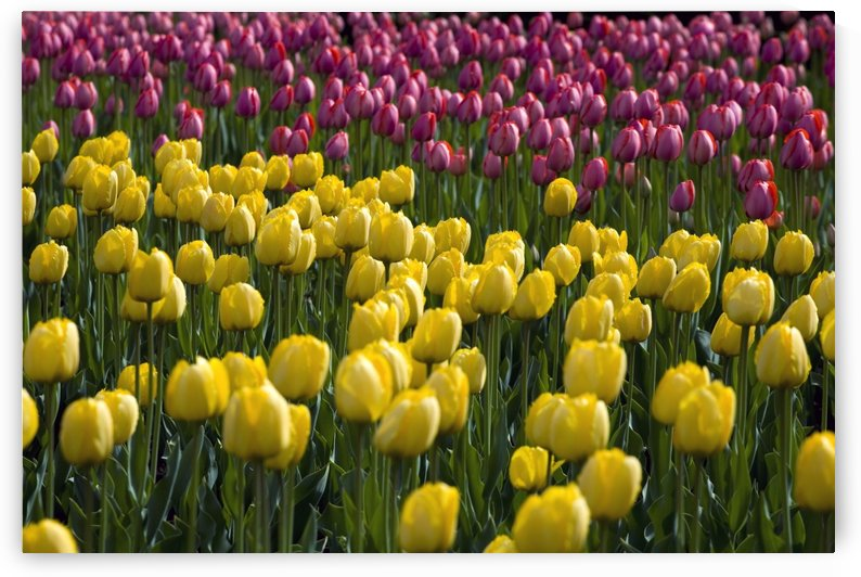 Tulips by PacificStock