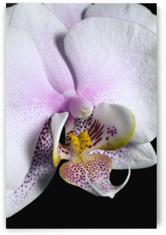 Orchid by PacificStock
