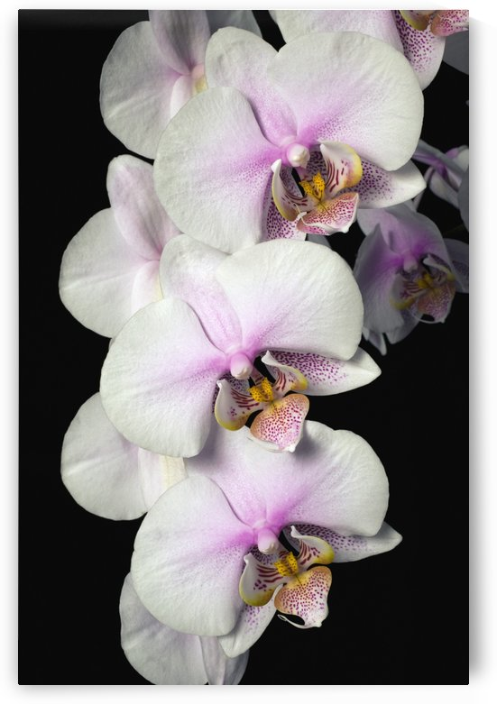 Orchids by PacificStock