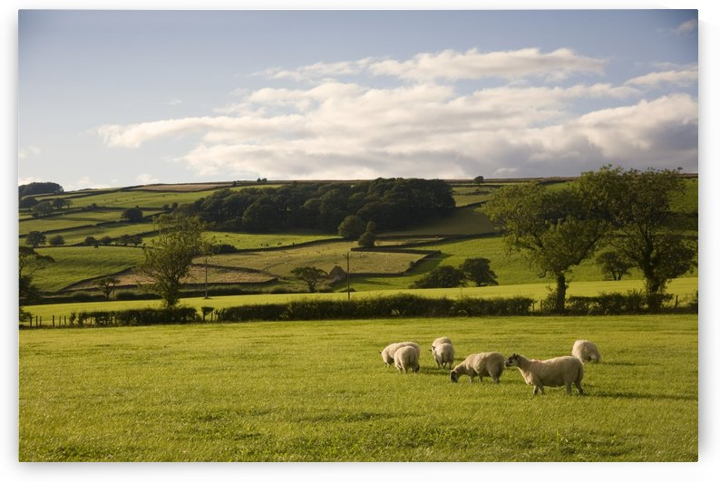Sheep In A Field, Yorkshire, England by PacificStock