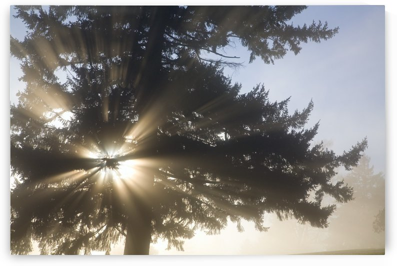 Light Through Tree, Willamette Valley, Oregon, United States Of America by PacificStock