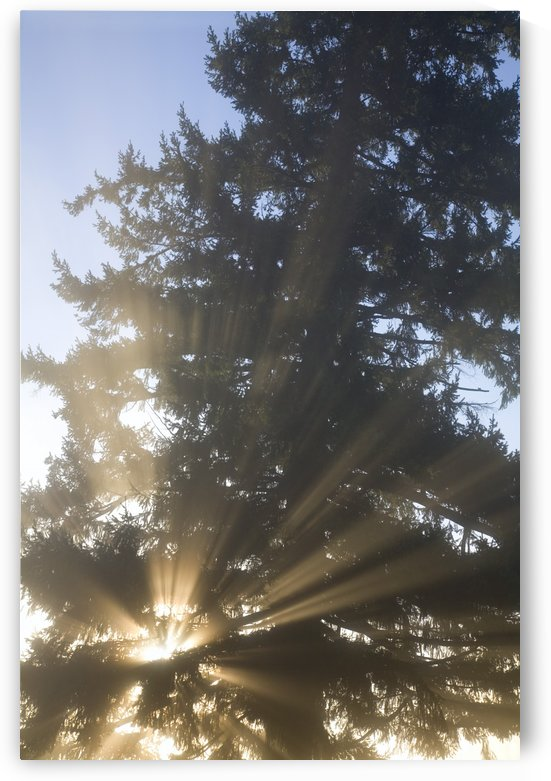 Sun Shining Through Fog And Trees, Willamette Valley, Oregon, Usa by PacificStock