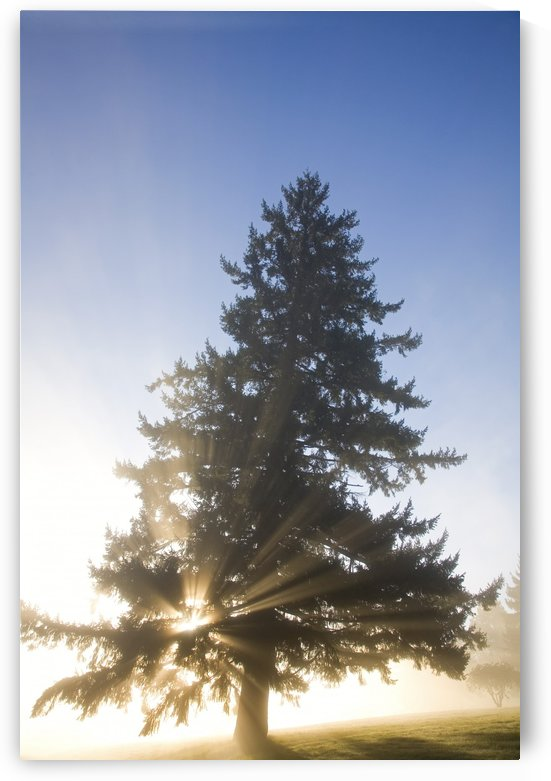 Tree And Sunlight, Willamette Valley, Oregon, United States Of America by PacificStock