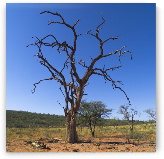 Dead Tree, Namibia, Africa by PacificStock