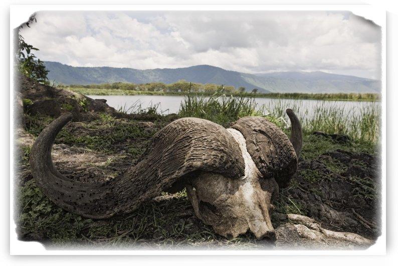 African Cape Buffalo Skull, Ngorongoro Crater, Tanzania, Africa by PacificStock