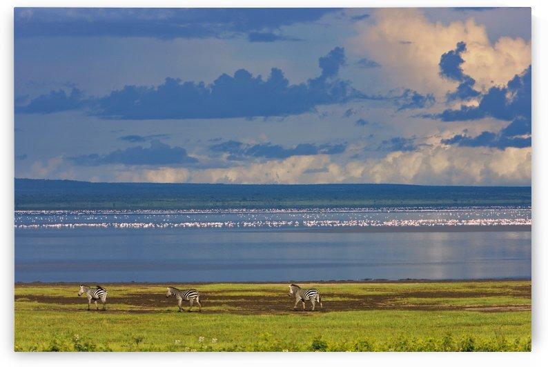 Zebras, Lake Manyara, Tanzania, Africa by PacificStock