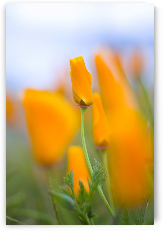 Furled Poppy by PacificStock