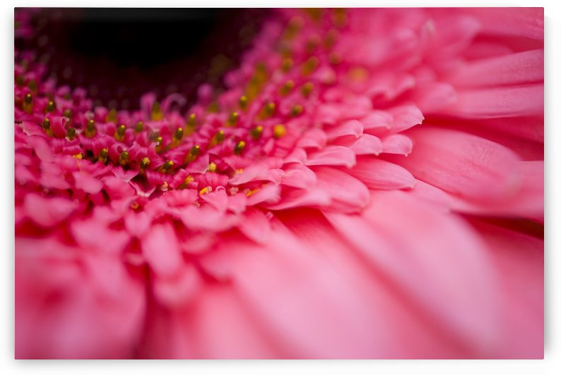 Close Up Of A Pink Flower by PacificStock