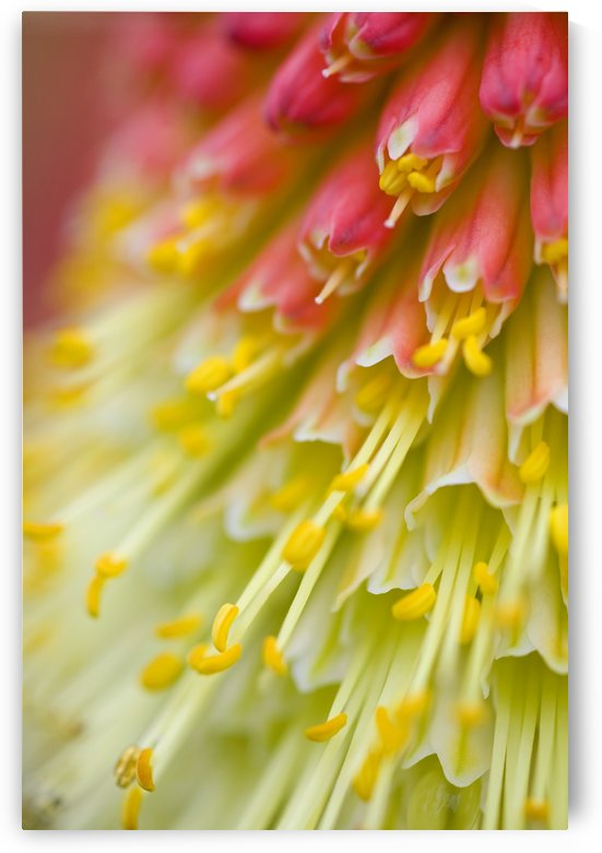 Close Up Of Flower Stamen by PacificStock