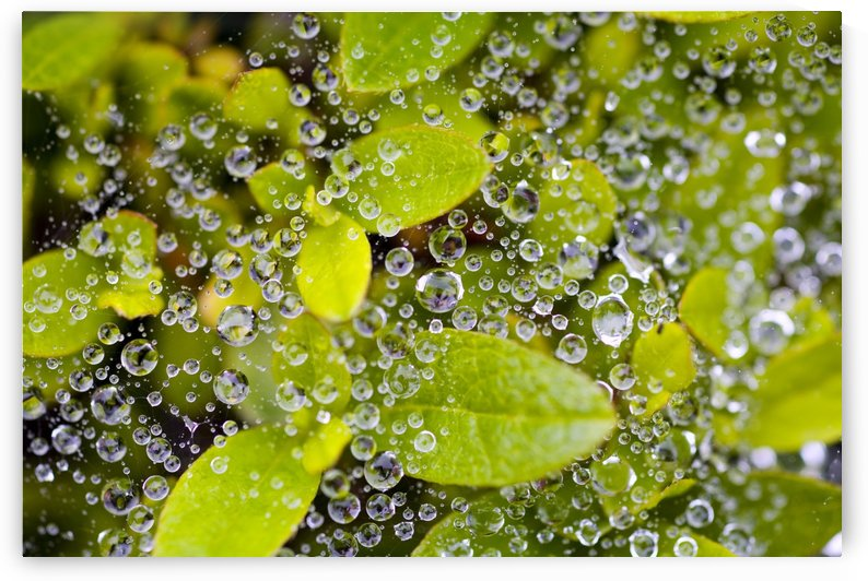 Closeup Of Morning Dew On Leaves by PacificStock