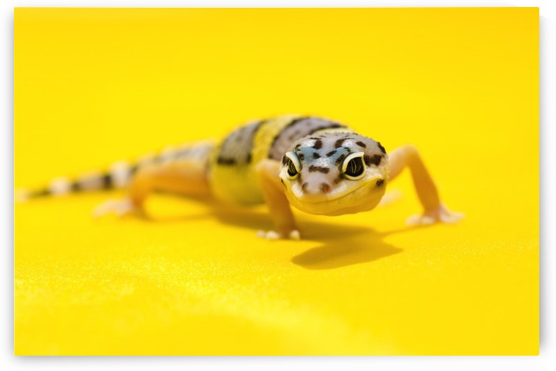 Baby Leopard Geckos On Yellow by PacificStock