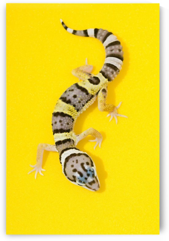 Baby Leopard Gecko by PacificStock