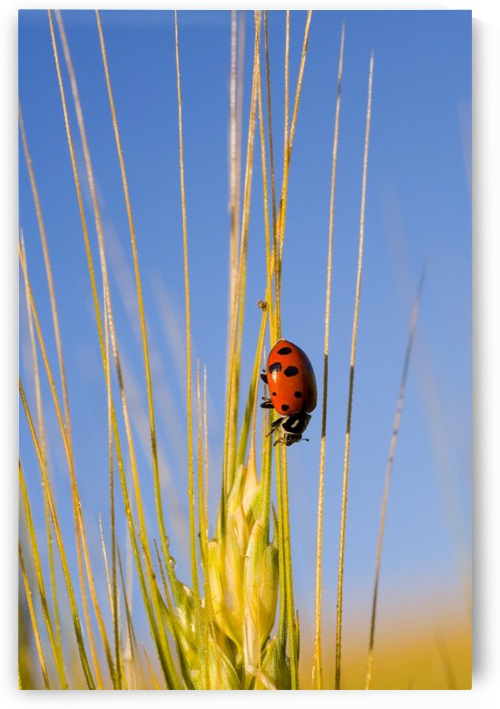Lady Bug On A Plant by PacificStock