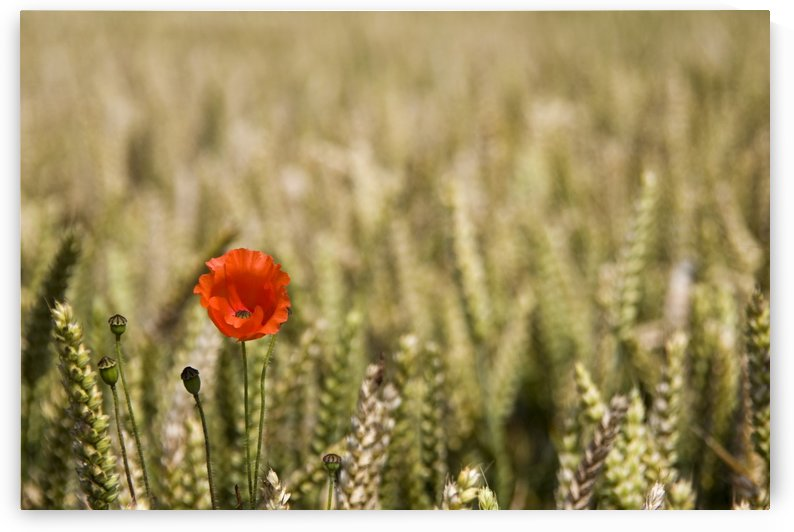 Poppy Flower In Field Of Wheat by PacificStock