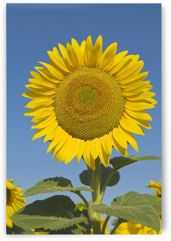 Sunflower (Helianthus Annuus) by PacificStock
