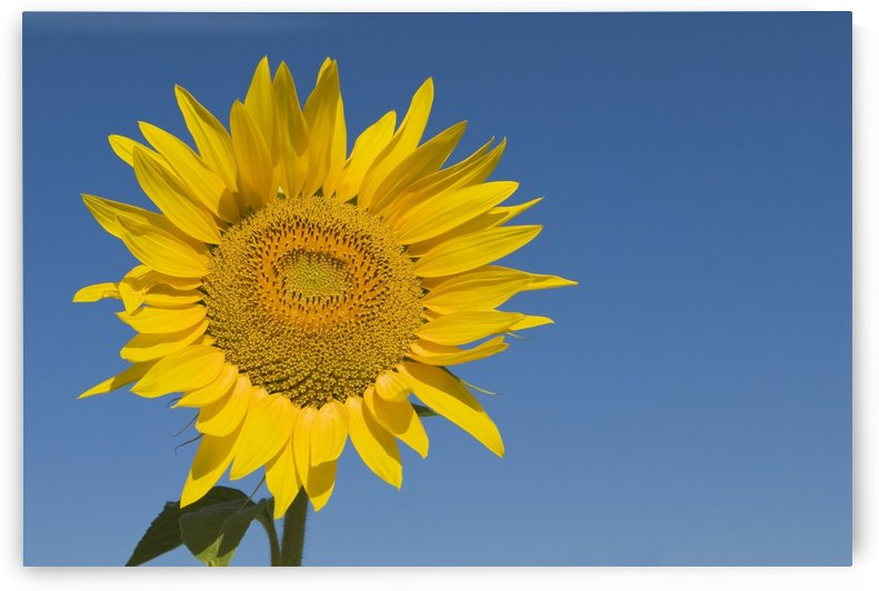 Sunflower, Helianthus Annuus by PacificStock