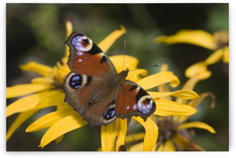 Butterfly (Lepidoptera) by PacificStock